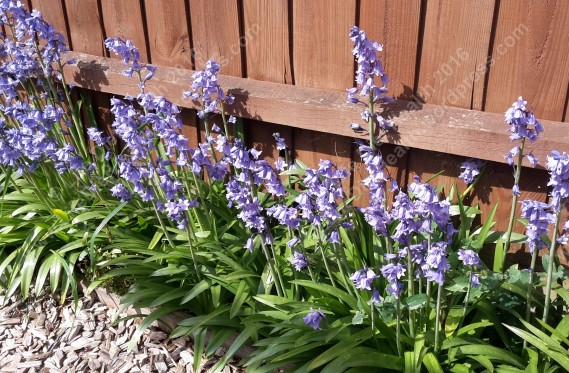 Bluebells bursting into the borders!