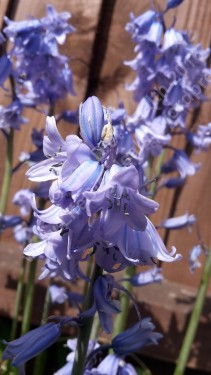 Delicately fragranced English Bluebell