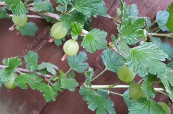 Gooseberries! Yumyum!