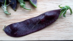 Luscious purple pea!