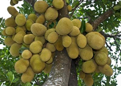 Jackfruit ona Jackfruit Tree!